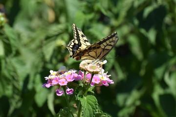 swallowtail butterfly in Cyprus