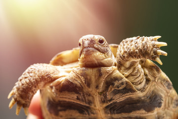 small, ground turtle or mountain turtle in the hands of a man with a copy of space for your text