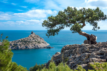 Crimean pine on a cliff overlooking the sea