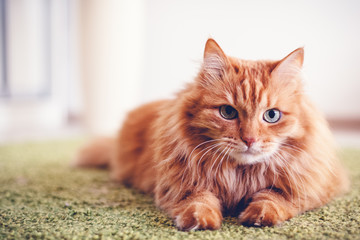 Portrait of a funny beautiful red fluffy cat with green eyes in the interior, pets