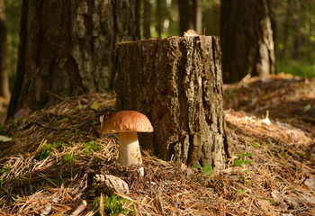 Mushroom boletus stands on a sunny forest edge next to an old stump