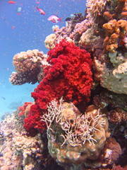 view of the Dichotomy fire coral and fish in the Red Sea