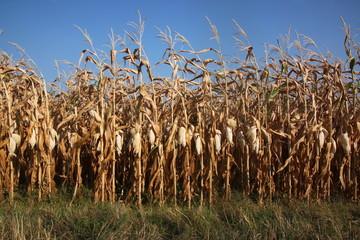 Verdörrtes Maisfeld nach langer Trockenheit