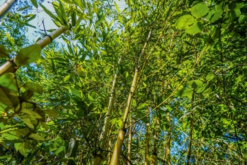 Bamboo leaves and trees at summer