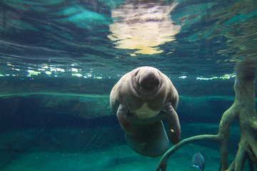 The West Indian manatee (Trichechus manatus, also known as sea cow)