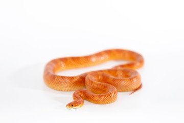 Beautiful corn snake isolated on white background