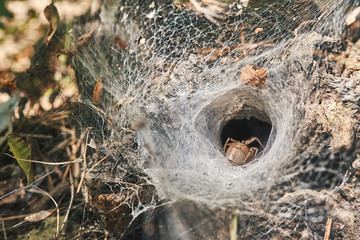 A large spider's nest of cobweb with a female spider in the thicket of the forest in the mountains close up. Insects. Spiders. Macro