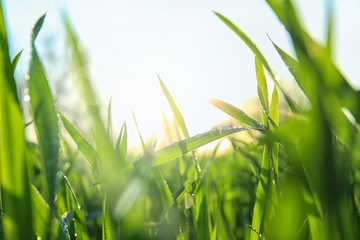 Young green wheat with dew drops on spring day, closeup