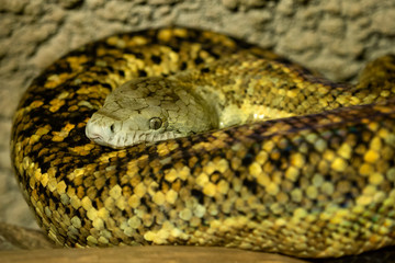Jamaican boa, Epicrates subflavus, this snake is threatened with extinction.