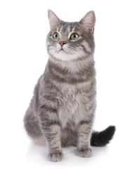 Portret szary tabby kot na białym tle. Cudowne zwierzątko