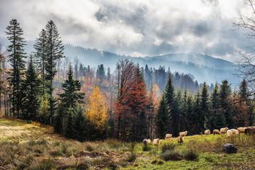 Jesień w Polskich górach i pasące się owce. Pochmurne, mistyczne  niebo i mgły. Na drzewach kolorowe liście. Piękna jesienna , malownicza tapeta.