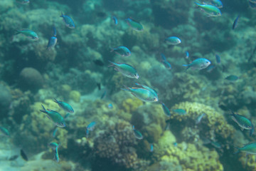 Undersea landscape with coral fish. Blue tropical fish in coral reef. Coral fish family closeup. Underwater macro photo