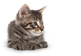 Cute tabby kitten laying down on white bakground