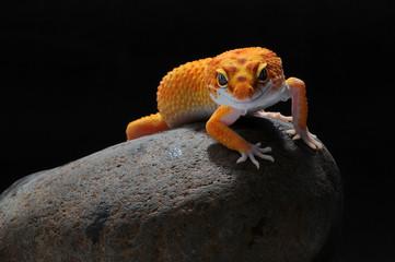 lampart jaszczurka gekon