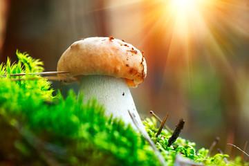 Boletus. Cep mushroom growing in autumn forest. Mushroom picking concept
