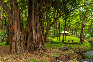 Banyan tree in la Reunion island