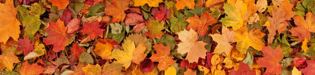 Colorful seasonal autumn background pattern, Vibrant carpet of fallen forest leaves.