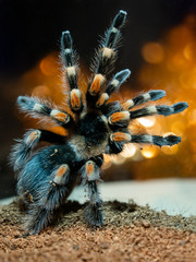 Tarantula spider. Dangerous insect in a special terrarium.
