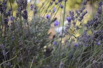 Wasp spider with striking yellow and black markings on abdomen