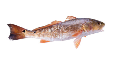 Fish  Red Drum (Sciaenops ocellatus). Isolated on white background