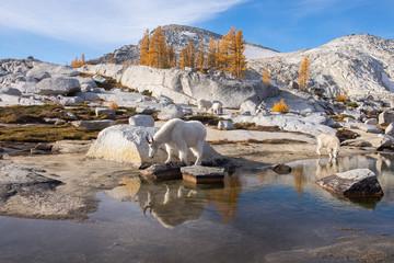 Mountain goats near a lake in the Enchantments during peak fall season