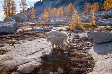 A mother and juvenile mountain goat walk through a larch forest - Enchantments, Washington
