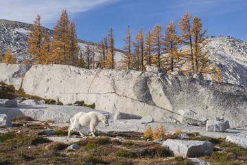 Samotna koza górska wędruje jesienią przez Zaklęcia