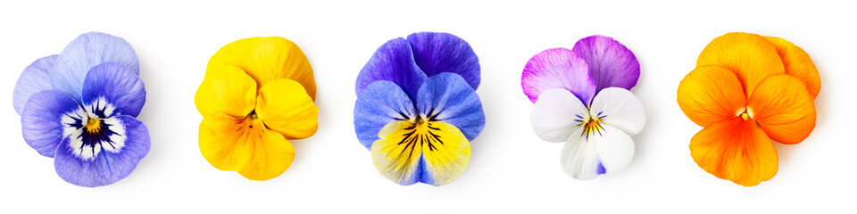 Zestaw trójkolorowych kwiatów altówki bratek