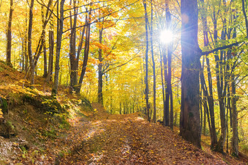 Morning in the autumn forest. Orange fallen leaves and sun light shining through trees