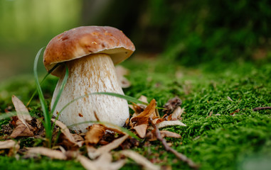 Mushroom in forest Porcino, bolete, boletus.White mushroom on green background.Natural white mushroom growing in a forest.