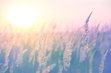 Kłoski traw oświetlone ciepłym złotym światłem zachodzącego słońca. Piękna letnia scena w pastelowych odcieniach i kolorach.