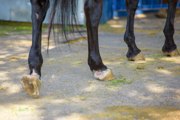 Hooves of horses in the street. Walking the horses at the racetrack. Well-groomed hooves of horses