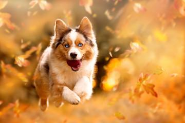 Pies, Owczarek australijski skoki w jesienne liście