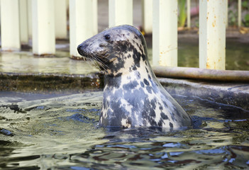 Baltic gray seal. This is a large animal, whose body length is about two meters, some individuals-and three. The front part of the head is quite long.