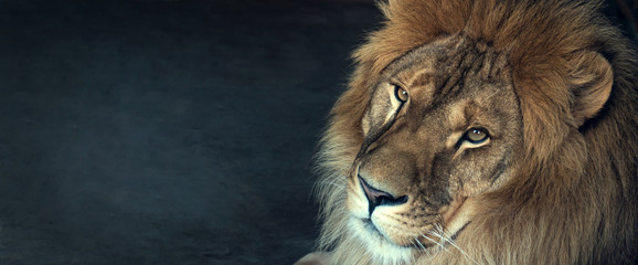 close-up of an African lion
