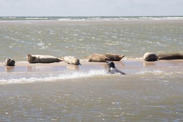 Zee robben op een zeebank