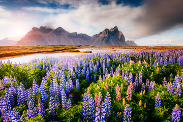 Magical lupine flowers glowing by sunlight.