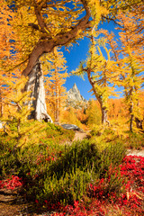 Żółci modrzewiowi drzewa w zaklęciach, Waszyngton, usa.