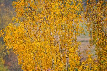 Żółte brzozy