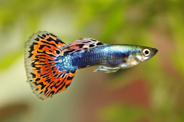 Guppy Poecilia reticulata colorful rainbow tropical aquarium fish