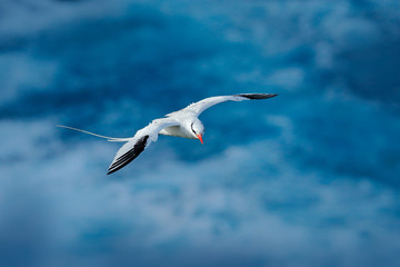 Red-billed Tropicbird, Phaethon aethereus, rare bird from the Caribbean. Flying Tropicbird with green forest in background. Wildlife scene from Little Tobago. White bird flight in the nature, Trinidad