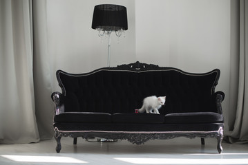 Cute white kitten with heterochromia (different eye color) on a black sofa