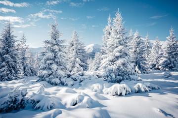 Sceniczny wizerunek świerczyny drzewne w świetle słonecznym.