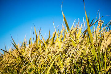 Golden ear of rice swinging in the wind (close-up)