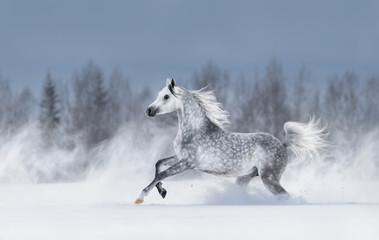 Grey arabian horse galloping during snowstorm.