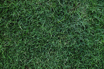 Lawn Texture. Green Grass Background, Top view and Closeup of Soccer Field