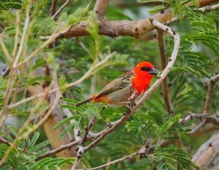 Red Fody bird - foudia madagascariensis