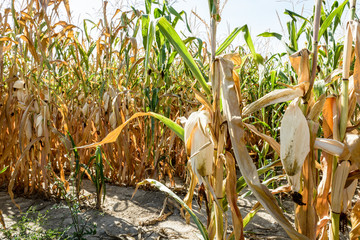 Corn crop suffering from drought. Corn plants in a field affected by drought during a hot, dry summer in the french countryside.