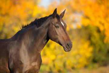 Bay stallion in fall park