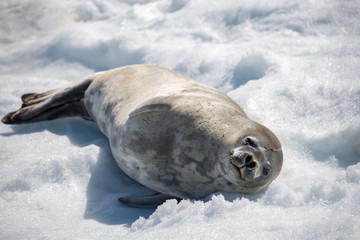 Leopard seal on beach with snow in Antarctica